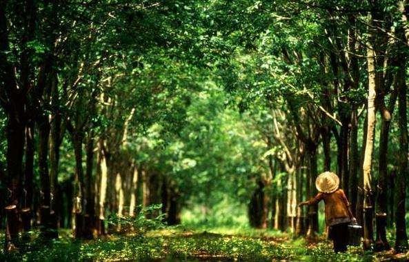 海南拟建橡胶林下栽培基地 增加胶园效益和胶农收入